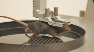 Mouse head-fixed in straight clamp