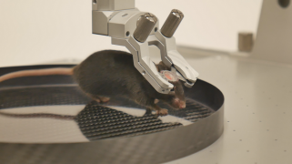 Mouse head-fixed in a 35 degree tilted clamp - Mobile HomeCage