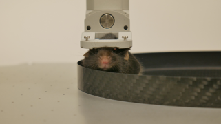 Mouse head-fixed in Levelt (magnetic) clamp