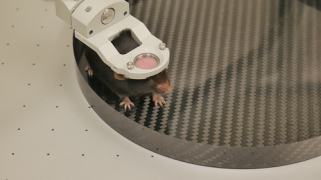 Mouse head-fixed in Levelt clamp - side view